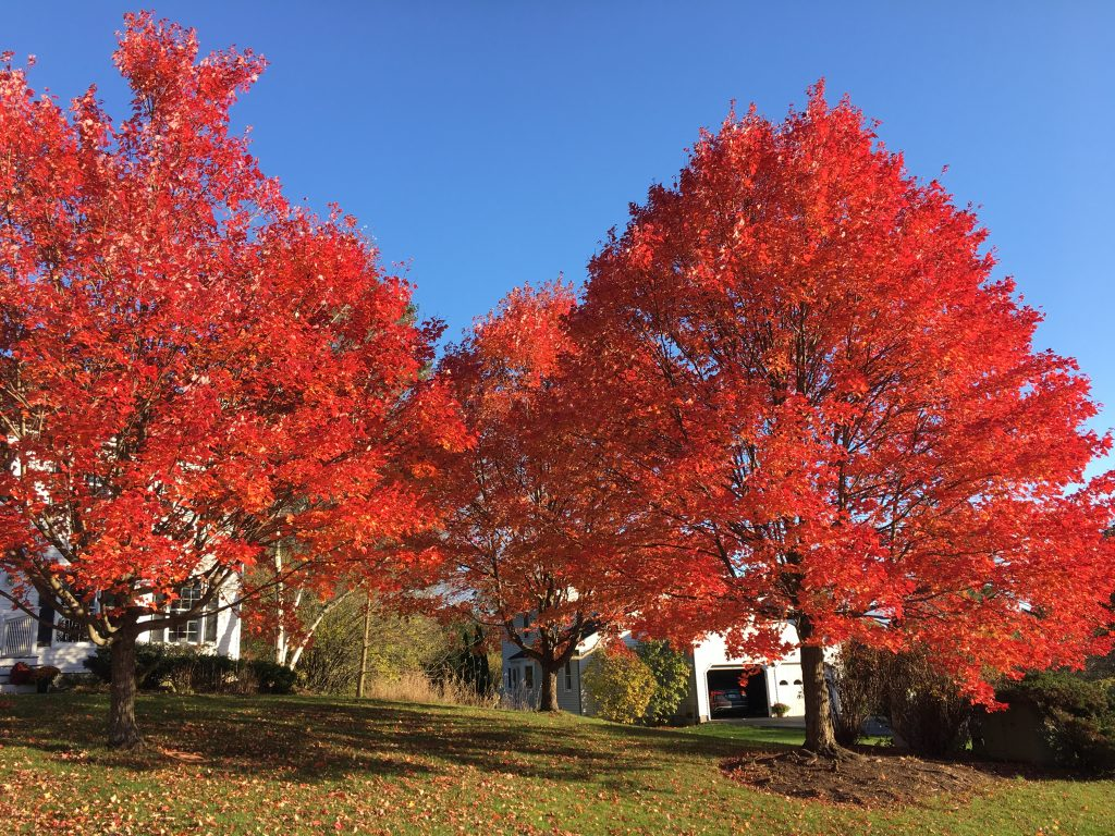 three sugar maples in full color display of red against a blue sky